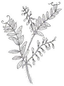 WOOLLYPOD VETCH (Vicia villosa ssp. dasycarpa)