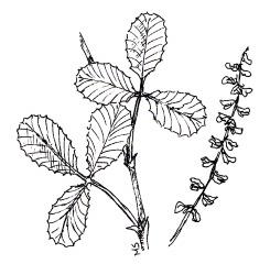 YELLOW SWEETCLOVER (Melilotus officinalis)